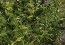 Kod maloljetnika iz Travnika pronađena marihuana
